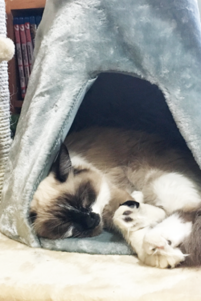 Ragdoll cat in a cat tree.